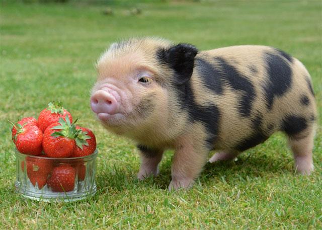 pig-strawberries